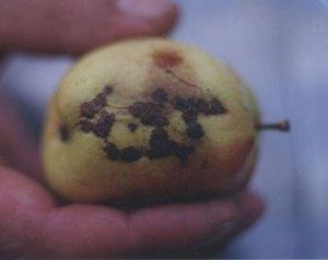 nama ALLAH pada Buah Apel